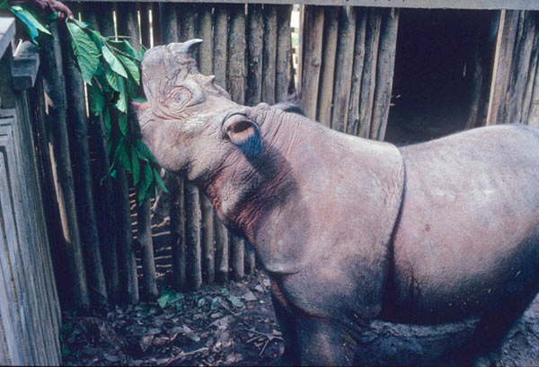 A Sumatran rhino held in captivity being fed. Courtesy of Alain Compost