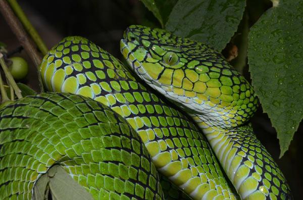 An adult female (Trimeresurus gunaleni) in Sumatra. Photo credit: G. Vogel.
