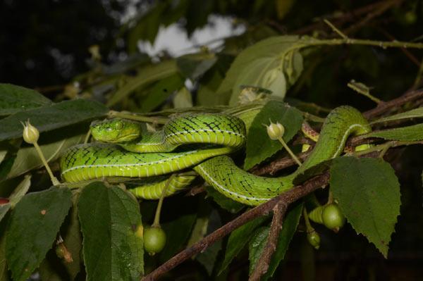 A male (Trimeresurus gunaleni) hangs out in a tree in Sumatra Utara Province, Sumatra. Photo credit: G. Vogel.