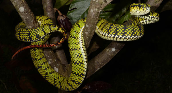 Live female of (Trimeresurus sumatranus) in Barat Province, Sumatra. Photo: G. Vogel.