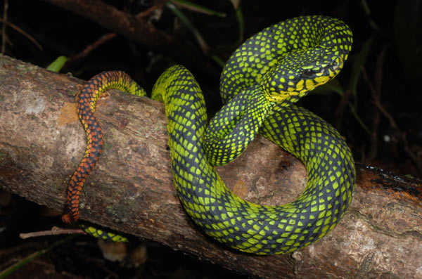 A photo of a female (Trimeresurus malcolmi) in action snapped in Mount Kinabalu, Sabah, Borneo. Photo credit: M. Dehling.