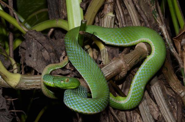 A male (Trimeresurus toba) from vicinity in Sumatra, a species sympatric with (Trimeresurus gunaleni). Photo: G. Vogel.