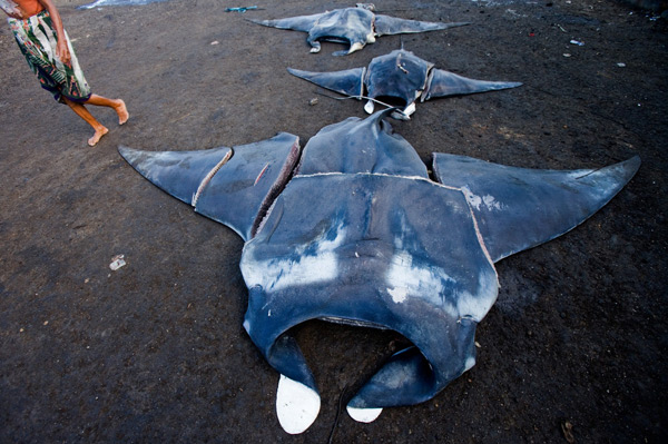 Butchered manta rays at Tanjung Luar, Lombok. Photo: Paul Hilton / WCS