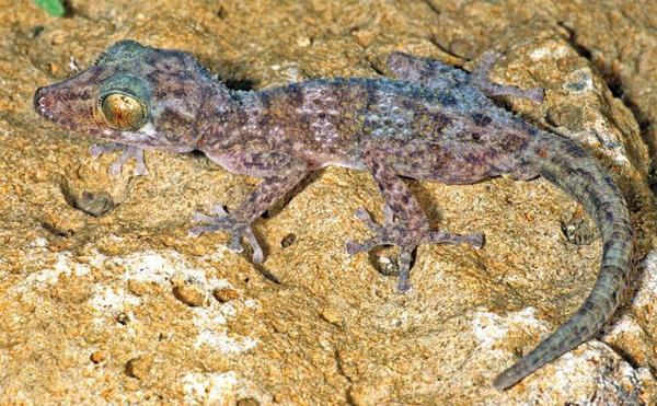Juvenile and subadult of the new species Paroedura hordiesi.