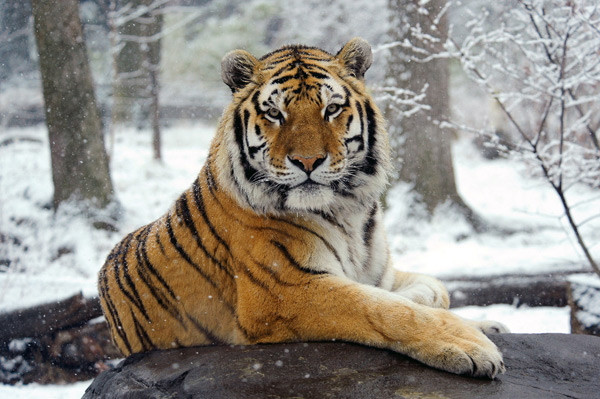 Amur tigers are also known as Siberian tigers. They are found in the Russian Far East and northeastern China. Conservation efforts are underway to save tigers throughout their remaining ranges.