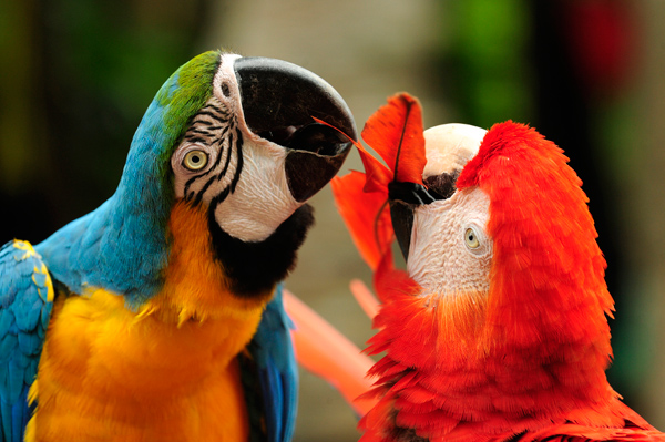 Macaws preen their vividly colored feathers to straighten and clean them.