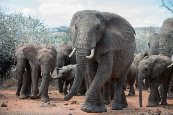 Entire families of elephants are being slaughtered for their ivory. The global appetite to own trinkets carved from elephant tusks has dealt a crushing blow to these plant-eating pachyderms that roam the forests and savannahs of Africa.