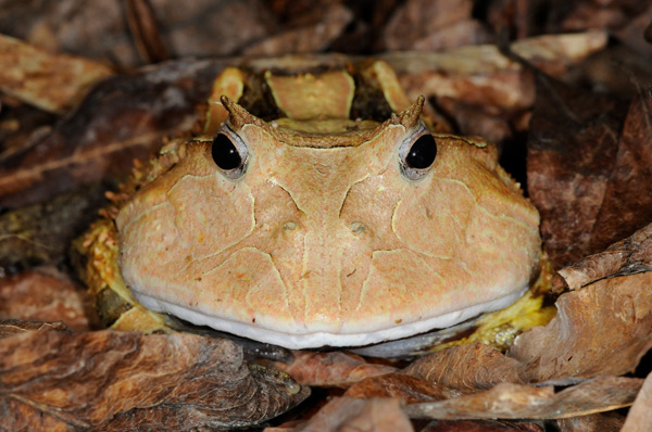 Surinam horned frogs are from South America and can lay up to 1000 eggs in a clutch.