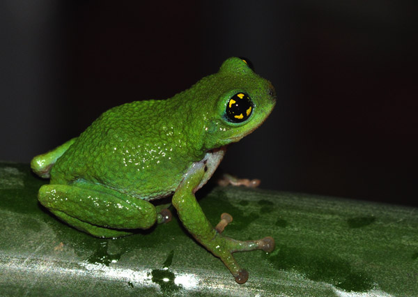 Raorchestes chalazodes. Photo by: Seshadri K. S.