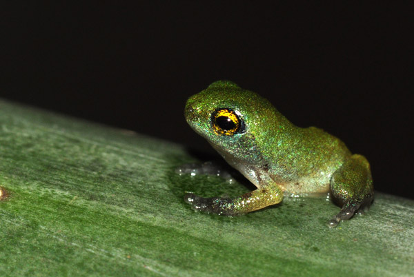 Emerged froglet. Photo by: Seshadri K. S. Photo by: Seshadri K. S.