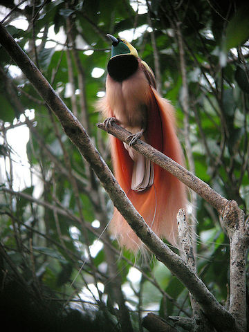 The raggiana bird-of-paradise is the national bird of Papua New Guinea. Photo by markaharper1.