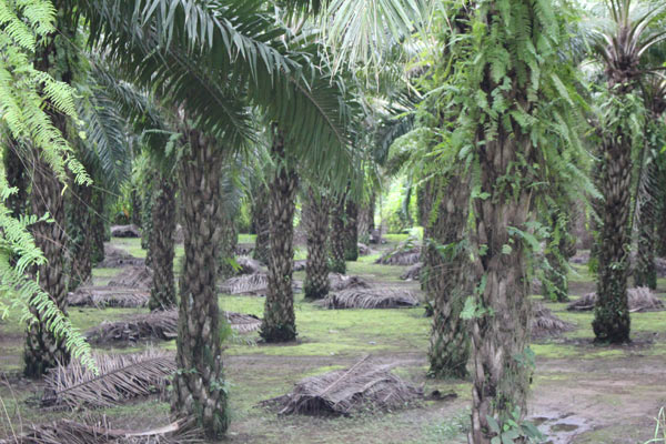 Palm Oil plantation in Costa Rica. Not only do these it affect primates, but they also contribute to deforestation. Source: Corrin LaCombe