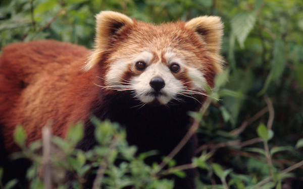 Video: Scientists capture first-ever footage of wild red pandas in Myanmar