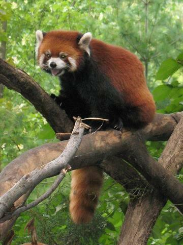 Red pandas (Ailurus fulgens) are not closely related to giant pandas. The species is considered Vulnerable by the IUCN, with a wild population estimated at fewer than 10,000 animals as of a 2008 study.