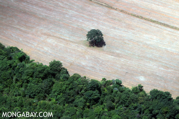 Lone Brazil nut tree standing in an area recently cleared for soy in the state of Mato Grosso, Brazil, in 2009.