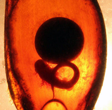 Scientists scraped the opaque, fibrous outside layer from each shark egg case so they could measure embryo development. Photo by: Rui Rosa, University of Lisbon.