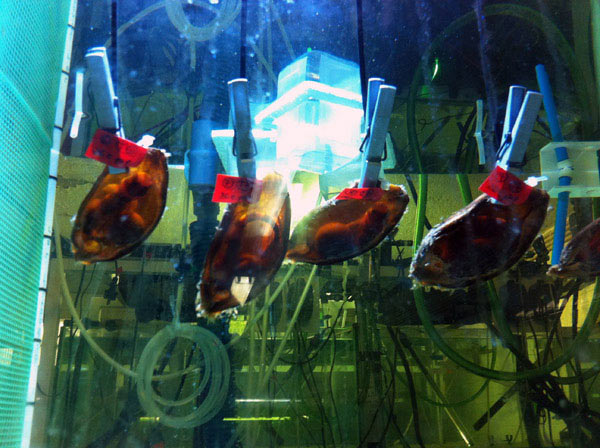 Not all research equipment is high-tech. A team member suggested using clothespins to attach shark egg cases to the cords that suspended them inside the aquariums. Photo by: Rui Rosa, University of Lisbon.