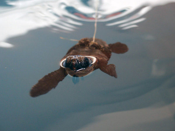 Researchers fitted newborn hatchlings with lycra harnesses and placed them in water-filled containers. When the turtles paddled strongly with their front flippers, they pulled on the harness and activated a switch, recording the amount of time each turtle swam. Credit: Rebecca Scott.