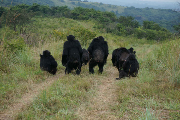 Adult male chimpanzees from the Ngogo community in Kibale National Park, Uganda, listen to vocalizations from distant members of a rival community. Credit: John Mitani.