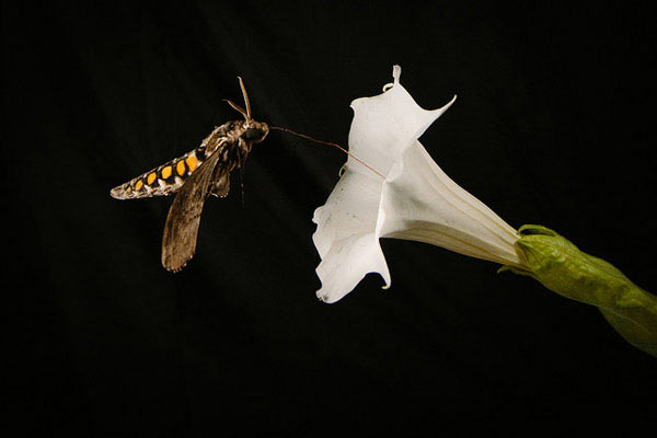 The hawk moth sips nectar from the Sacred Datura. Photo by Kiley Riffell.
