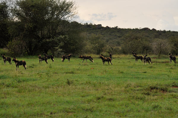 The Loisaba pack of African wild dogs stages in a meadow before their evening hunt. The dogs prefer to hunt for prey, like impala, in the bushy areas of the landscape.