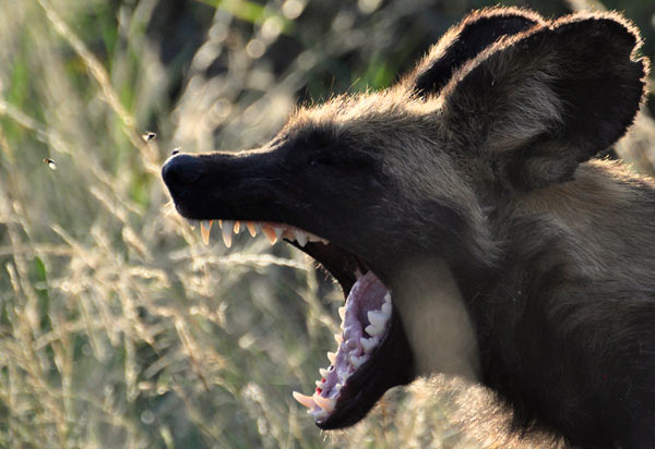 An African wild dog yawns in the afternoon sun. Impala face a hard choice - the must avoid the teeth of the predators like African wild dogs, and the thorns and noxious chemicals of their food. Photo Credit: AT Ford