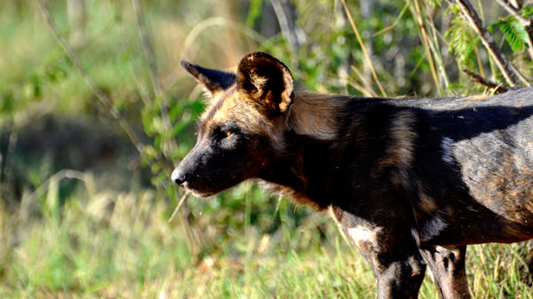 An African wild dog scans the bushland for prey. Photo Credit: AT Ford