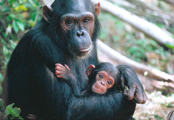 The West African chimpanzee (Pan troglodytes verus) is classified as Endangered by IUCN. Courtesy of Goprimal.