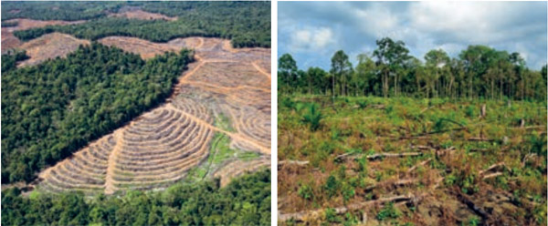New oil palm plantation development amid evidence of recent forest clearance in PT Buana Adhitama.