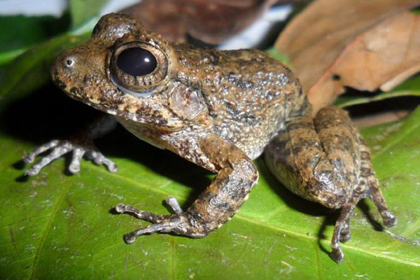 Adult male of the South Pacific streamside frog. Photo by: Gerardo Chaves.