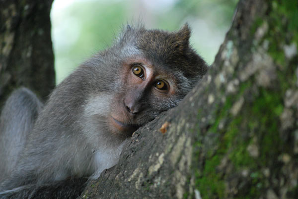 Long-tailed macaques (pictured here), unlike the specialized proboscis monkeys, are adaptable to different environments. They're not picky eaters and can survive in disturbed regions. Credit: Fany Brotcorne.