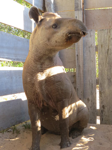Rita, an adult female. Photo credit: Lowland Tapir Conservation Initiative, Brazil.