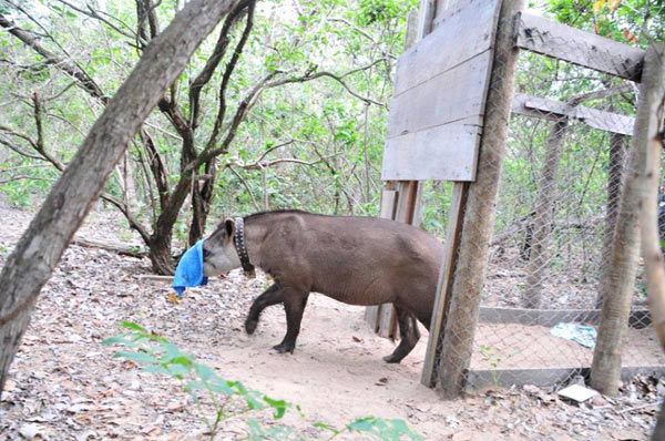 Recovery Anesthesia. Photo credit: Lowland Tapir Conservation Initiative, Brazil.