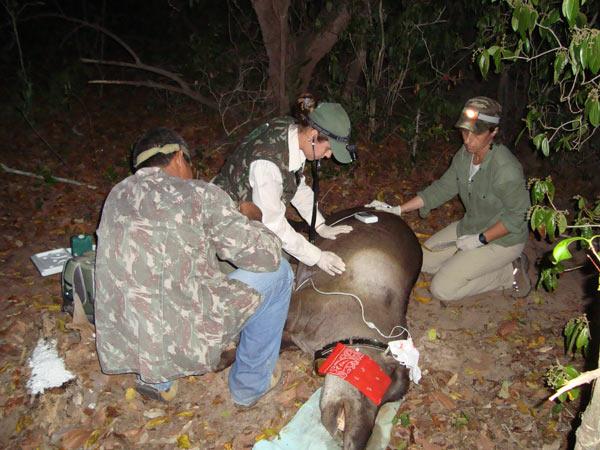 Acompanhamento da anestesia. Foto de: Lowland Tapir Conservation Initiative, Brazil.