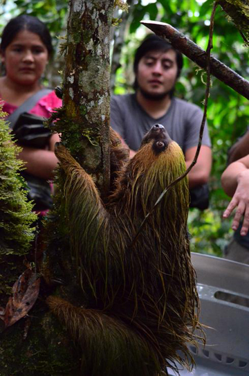Release of a sloth, rescued by wildlife authorities, in Hocicon, a Ronda run conservation area, where it will be protected from hunting by local communities. Photo: Ana Peralta/NPC.