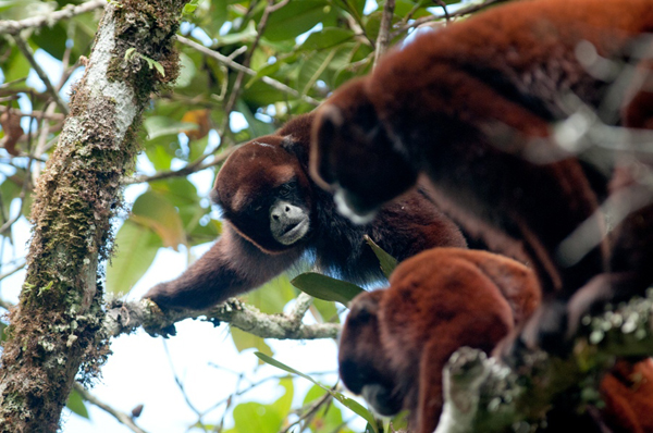 A group of yellow tailed woolly monkeys in the forests of La Esperanza. Photo: Andrew Walmsley/NPC