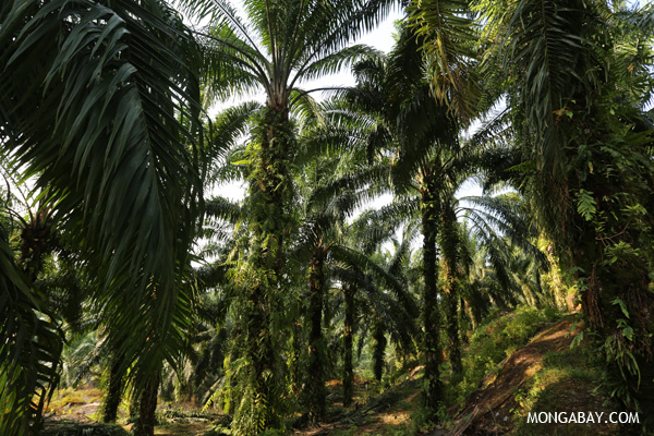 Oil palm plantation in Sumatra.