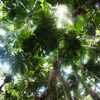 Fan palms in the Daintree rainforest, Australia