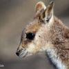 Mareeba Rock Wallaby, Australia
