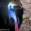 Golden-necked cassowary, Australia