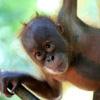 Orphaned baby orangutan in North Sumatra, Indonesia