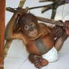 Orphaned baby orangutan at a rehabilitation center in North Sumatra, Indonesia
