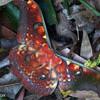 Colorful moth in Sumatra, Indonesia