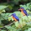 Kingfishers, Sabah, Malaysia