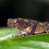 Toad, Sabah, Malaysia
