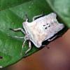 White shield bug, Sabah, Malaysia