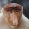 Male proboscis monkey, Sabah, Malaysia