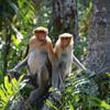 Proboscis monkeys in a mangrove forest, Sabah, Malaysia