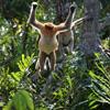 Proboscis monkey jumping, Sabah, Malaysia