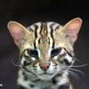 Leopard cat, Sabah, Malaysia